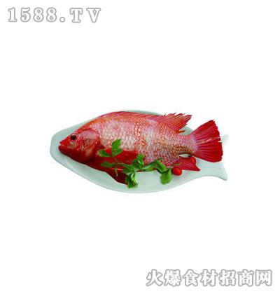 何氏水红罗非鱼