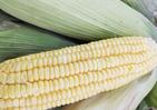 2021年10月19日玉米价格行情